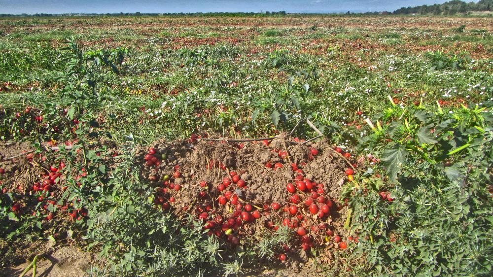 Camino Portuguese - Tomato Farm