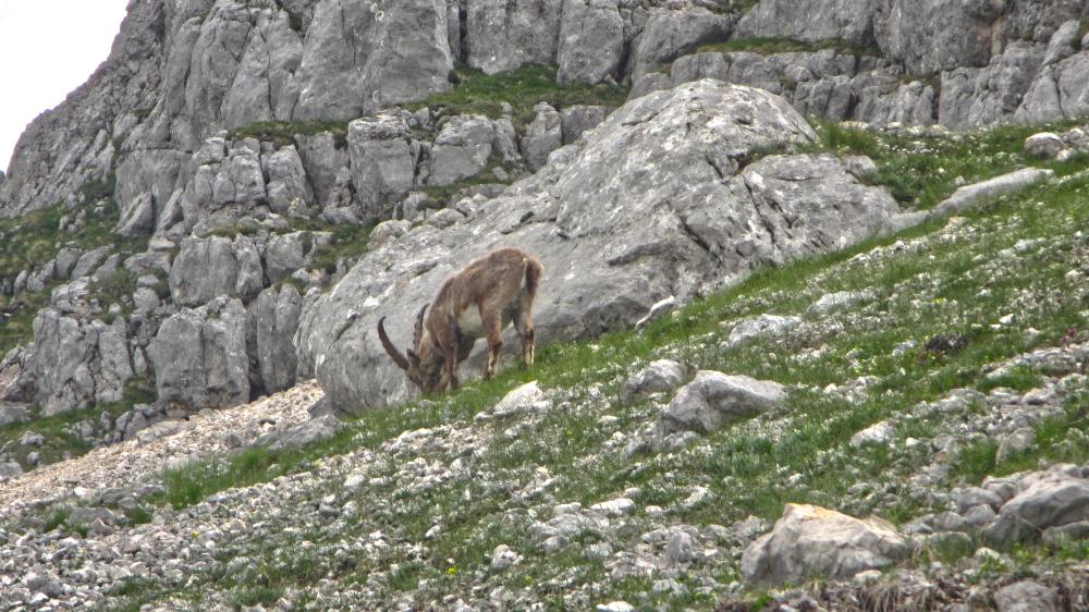 Triglav National Park - Legendary Ram